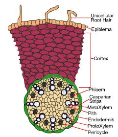 Monocot root(maize) with internal tissues organization